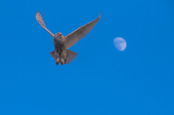 Snowyowl flying by the moon