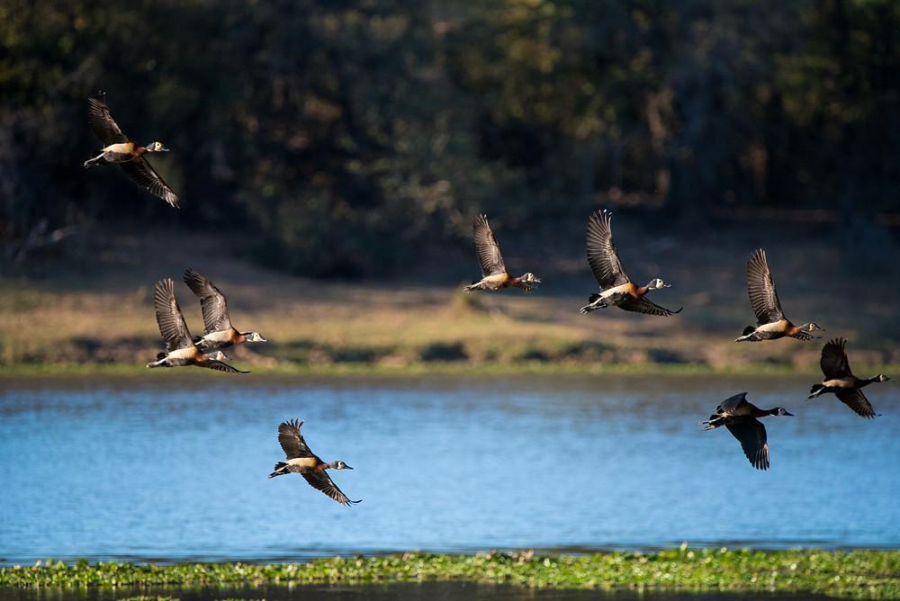 ducks flying, South Africa birds