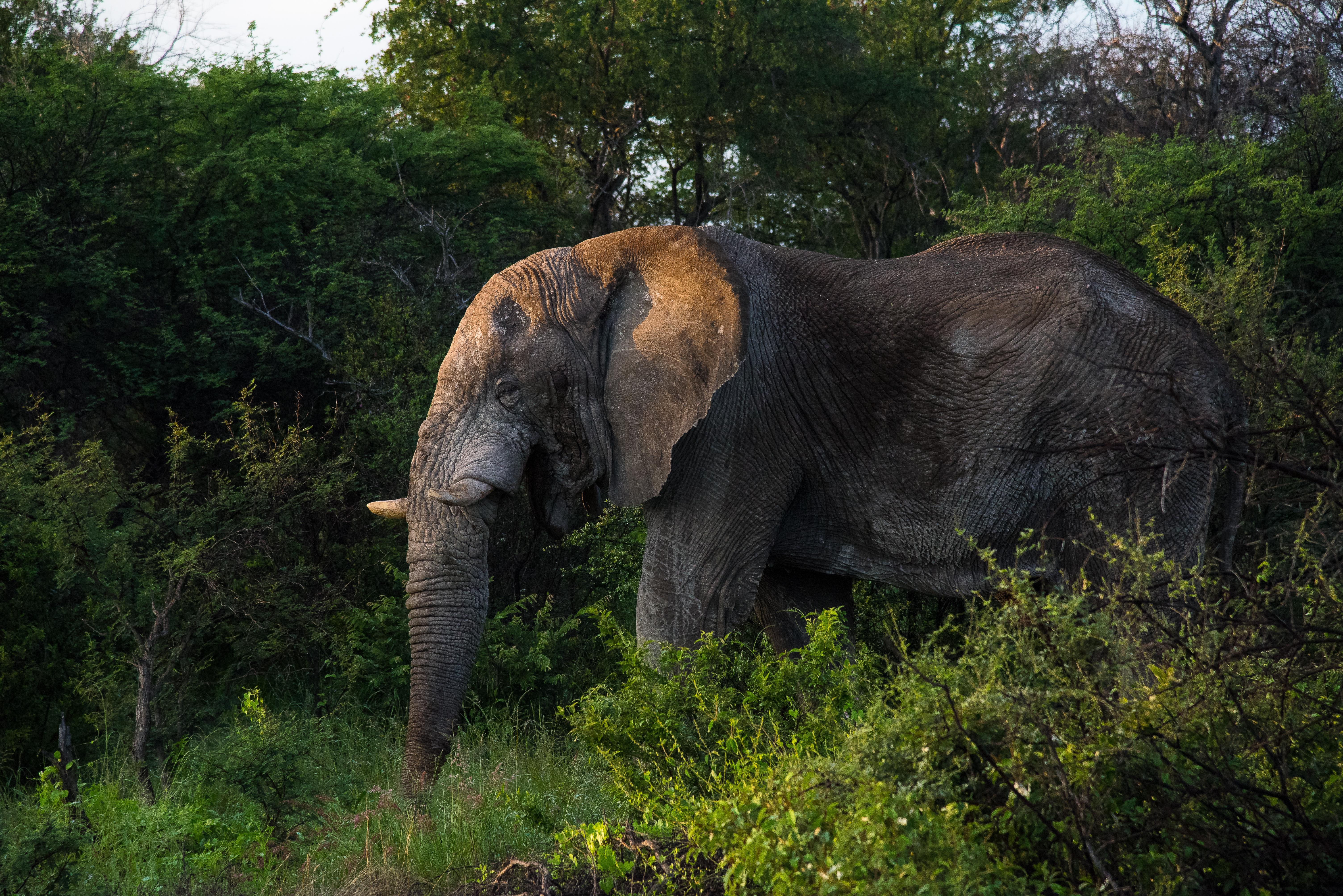Elephnt near forest, Namibia