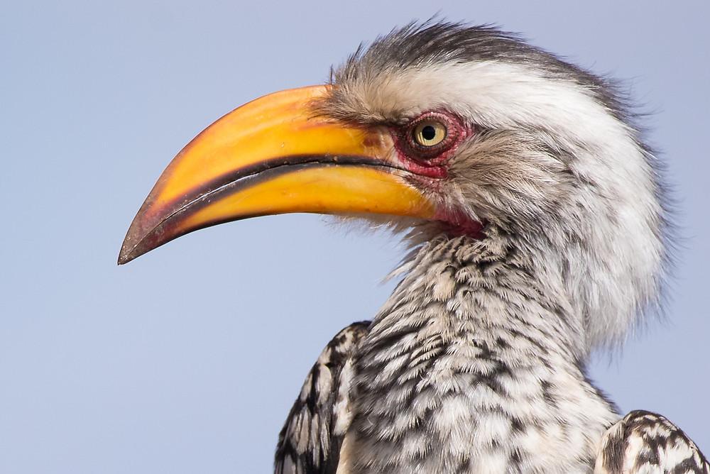 hornbill, South Africa