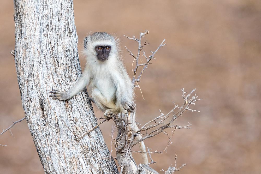 baby vervet monkey in tree