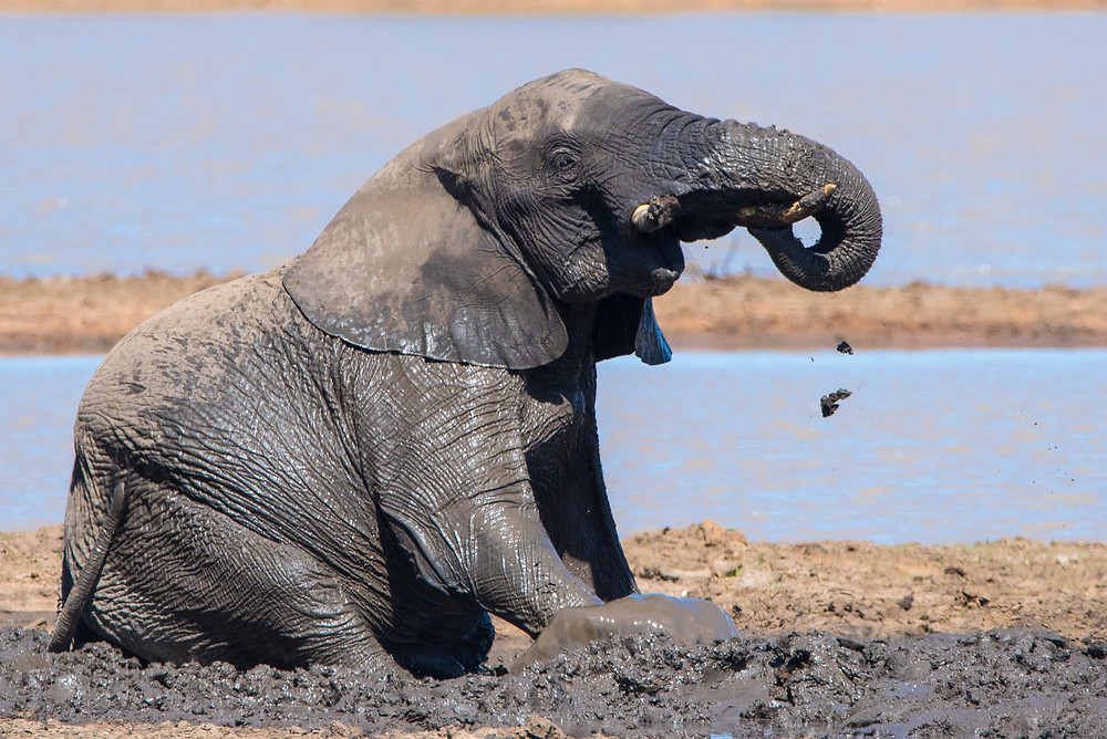 elephant playing in mud, Kruger South Africa