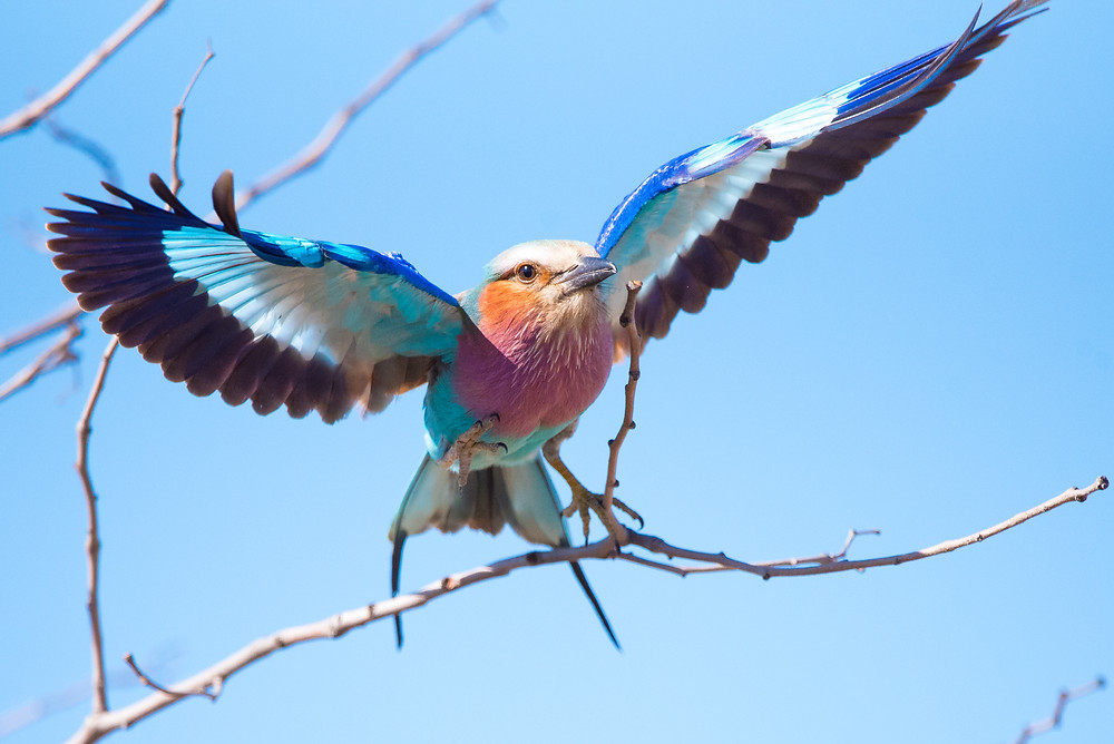 lilac-breasted roller, South Africa bird