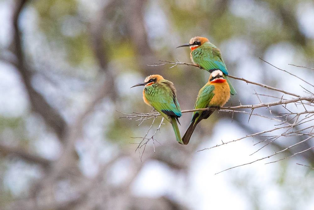 bee-eaters on branch