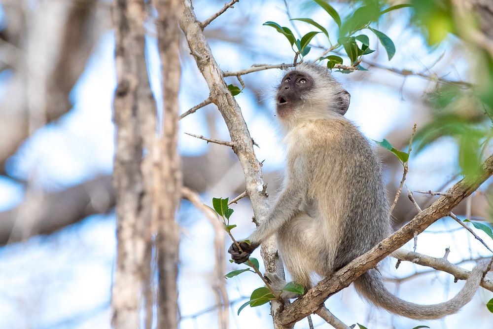 monkey with mouth open, South Africa