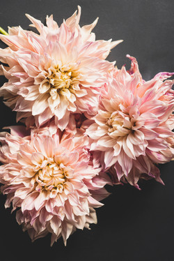 Pink dahlia blooms