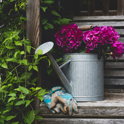 Fuschia peonies in an aluminum watering can surrounded by greenery
