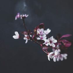 Purple sandcherry branch with blossoms