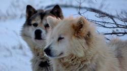Huskies2