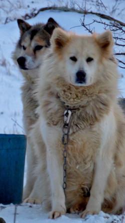 Huskies1