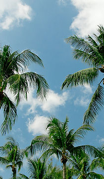 buy palm trees landscaping vietnam