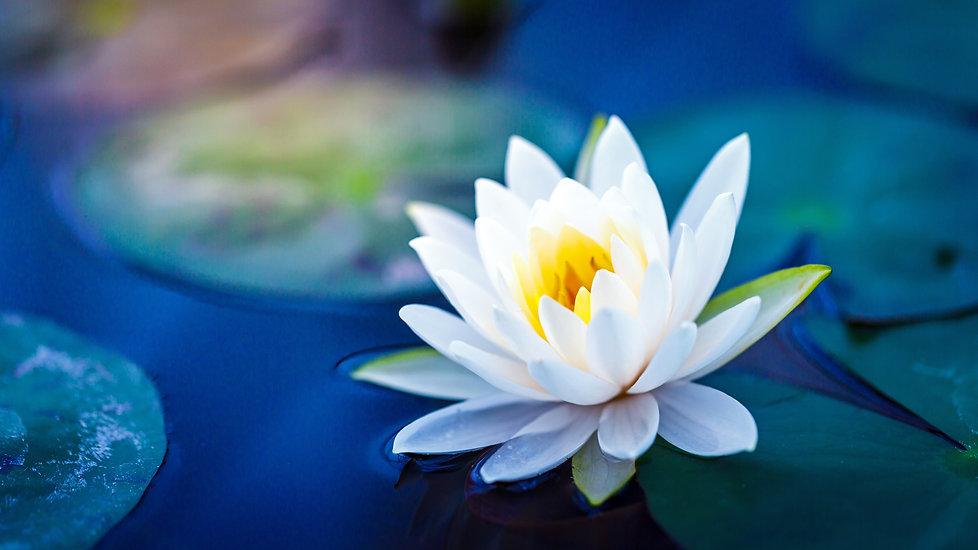 White lotus with yellow pollen on surfac