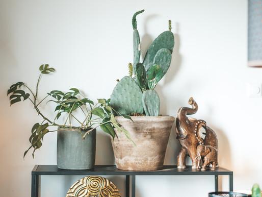 Potte om Opuntia Kaktus