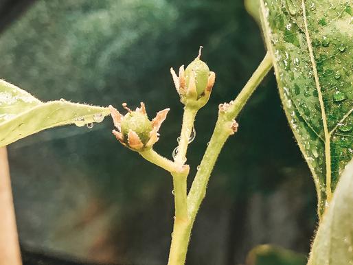 Hvordan få frukt på ditt avokadotre
