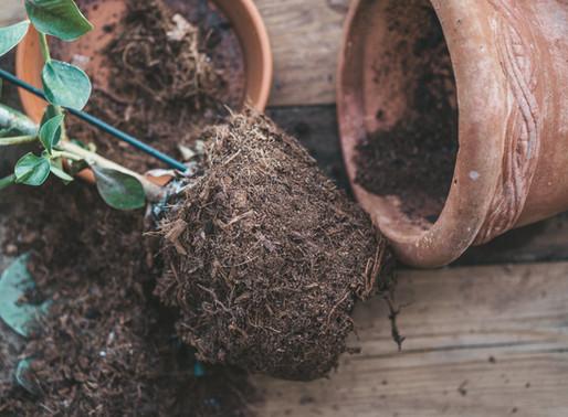 Hvorfor bør planter pottes om?