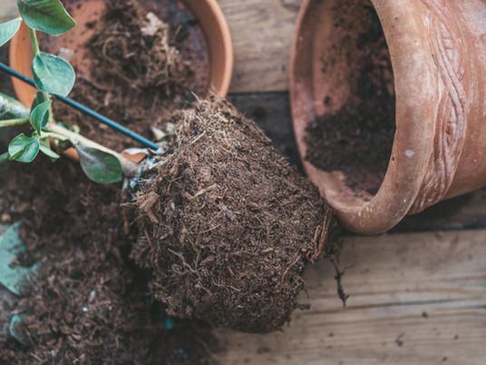 Hvorfor og når bør planter pottes om?