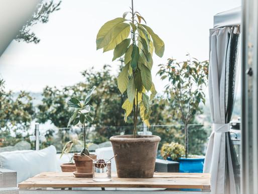 Hvordan dyrke avocado tre