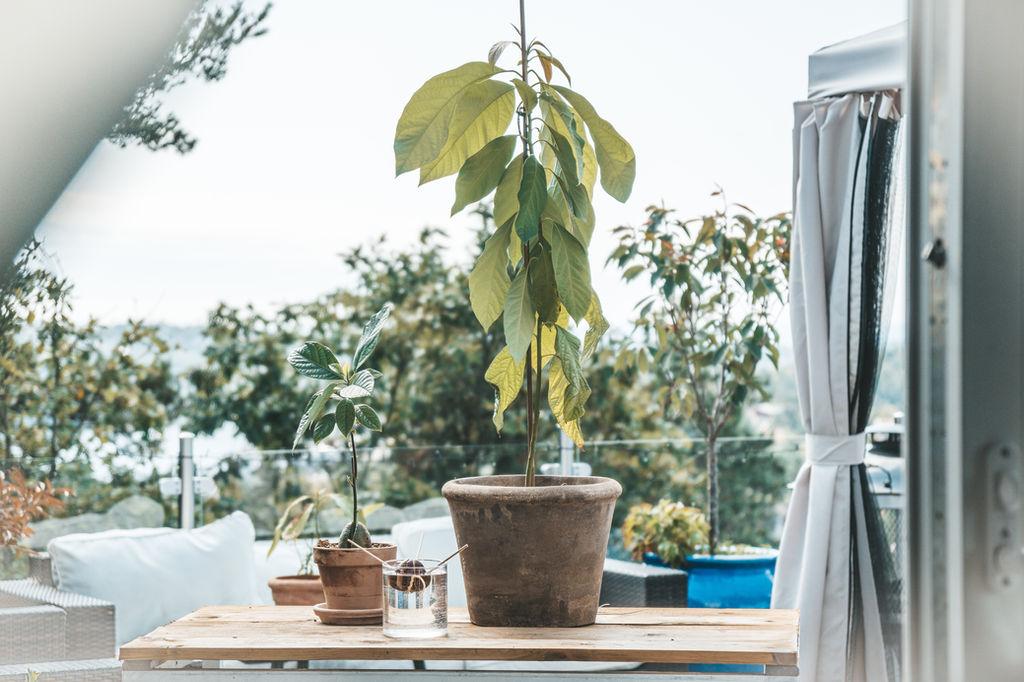 Plante avokado stein