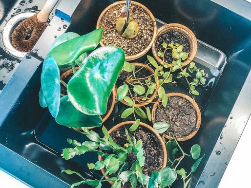 Når skal planten vannes?