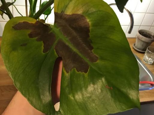 Brune flekker på Monstera blad