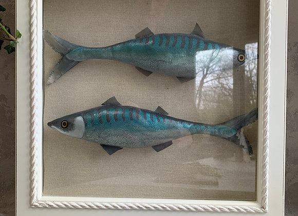 Mackerel in display