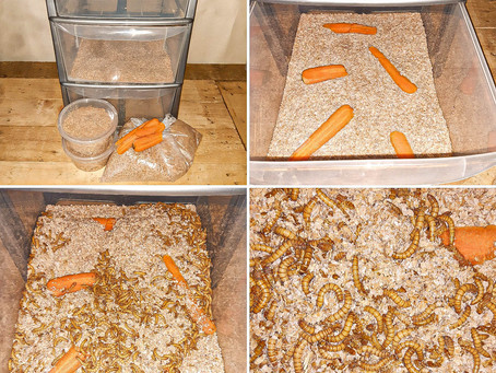 Large Draw Mealworm Breeding Diary Day 1