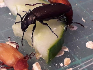 Guide on how to easily pupae morio worms (Zophobas Morio) (Lots of beetles)