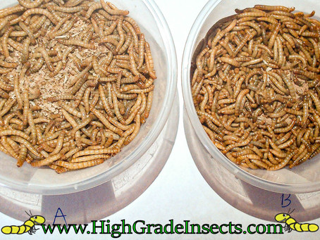 Feeding Mealworms Enriched Vs Basic Diet (Scientific Case Study) Day 3 Set Up (Trenbilo Molitar)