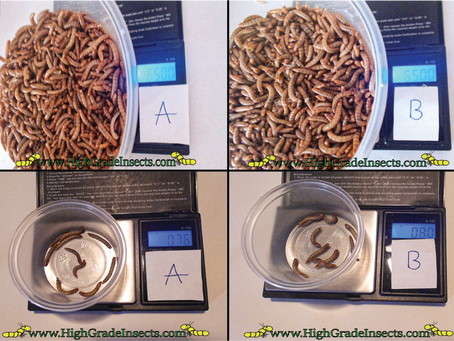 Feeding Mealworms Enriched Vs Basic Diet (Scientific Case Study) Day 1 Set Up (Trenbilo Molitar)