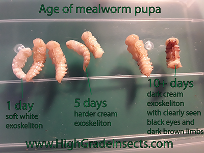 mealwormpupainfoage.png