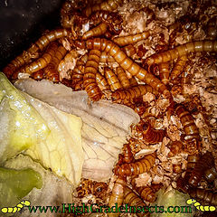 mealworm breeding setup blog pics (highg