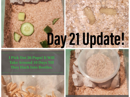 Mealworm Breeding Diary Day 21 Update, First 26 pupas!