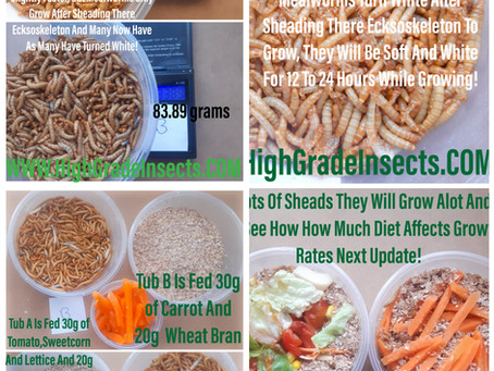 Mealworm Diet Experiment Case Study Day 7 Update, Lots Of Sheads!