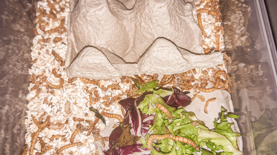 Mealworm Breeding Setup Diary Day 10