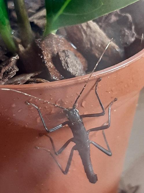 Black Beauty Stick Insect Starter Kit