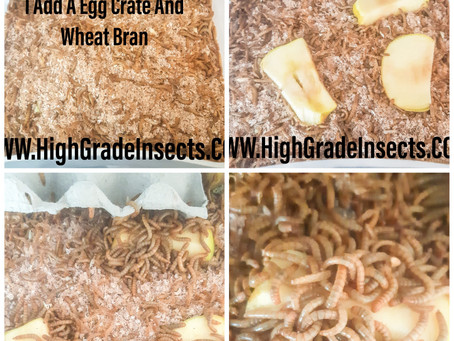 Mealworm Breeding Diary Day 7 Update