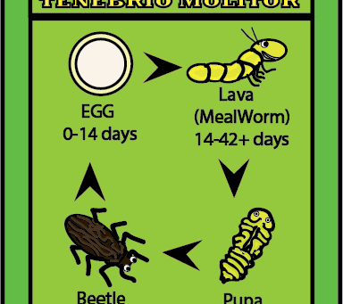 Mealworm and darkling beetle life cycle