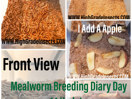 Mealworm Breed Diary Day 14 Update. No Pupas Yet.