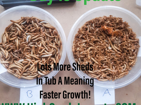 Mealworm Diet Experiment Case Study Day 13 Update, First Pupa In Tub A!