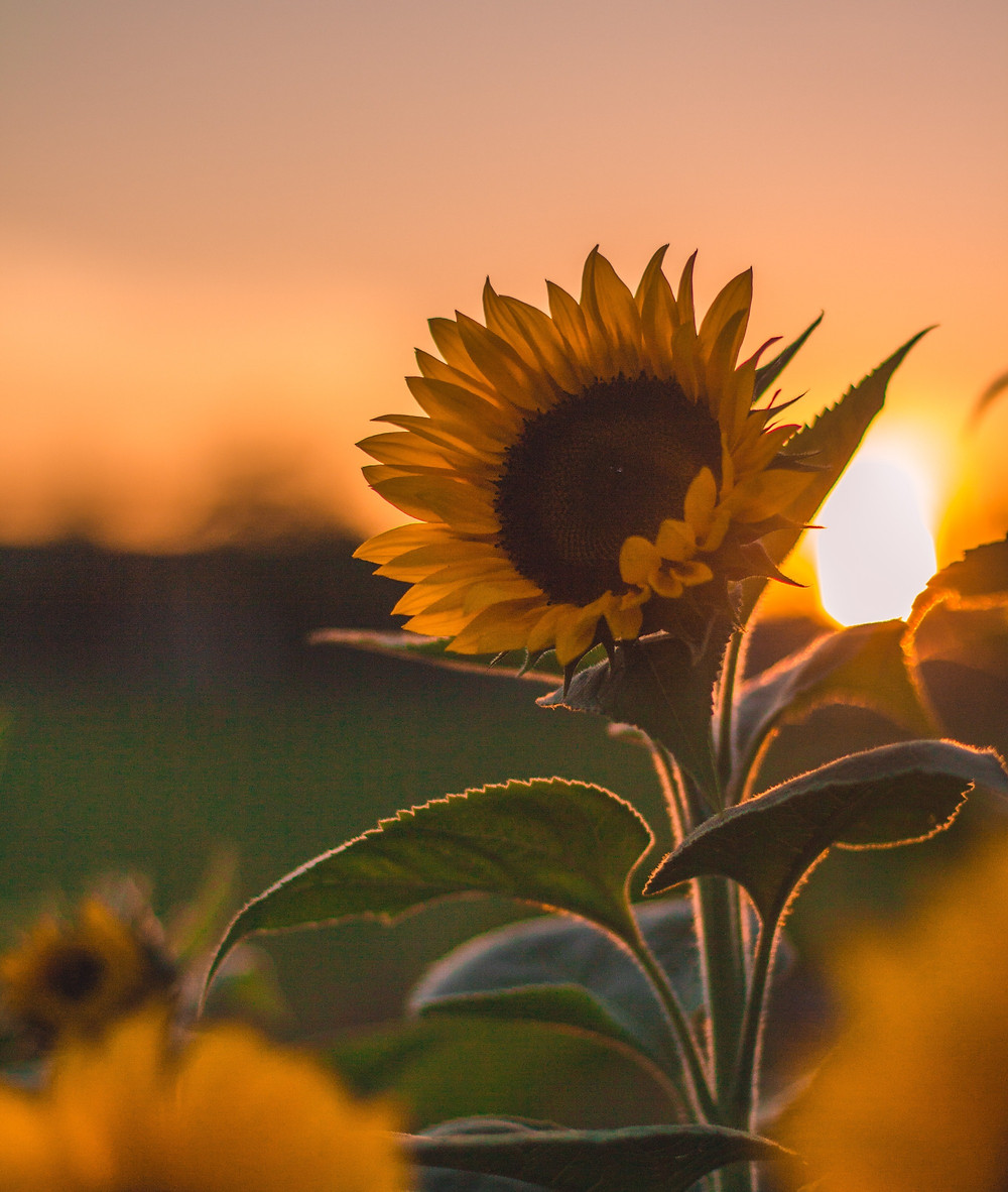 Sunflower growing at dawn