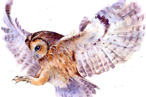 Signed, Limited Edition Print Tawny Owl in Dive