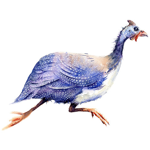 Signed, Limited Edition Print Run away!  Guinea Fowl