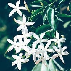 jasmine_edited_edited.jpg
