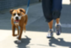 Dog Jogging On A Walk