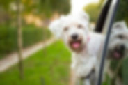 White-Dog-Hanging-Out-Of-Car-Window.jpg