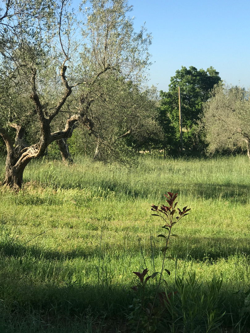 A stroll among the olive trees in the yard...