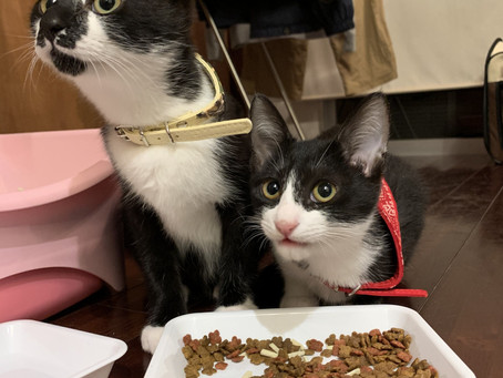 新しい猫社員 おもちとみかん