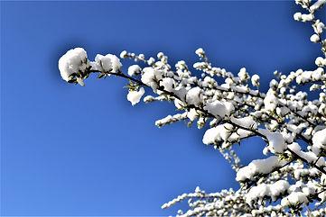 Honeysuckles_in-the_Snow-2.jpg