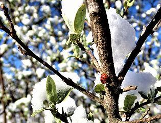 Snow-Lady_Bug.jpg