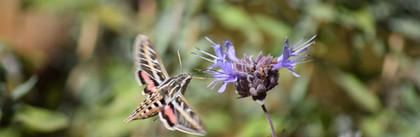 Moth pollinates flower